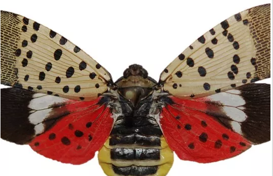 resources-spotted-lanternfly-adult